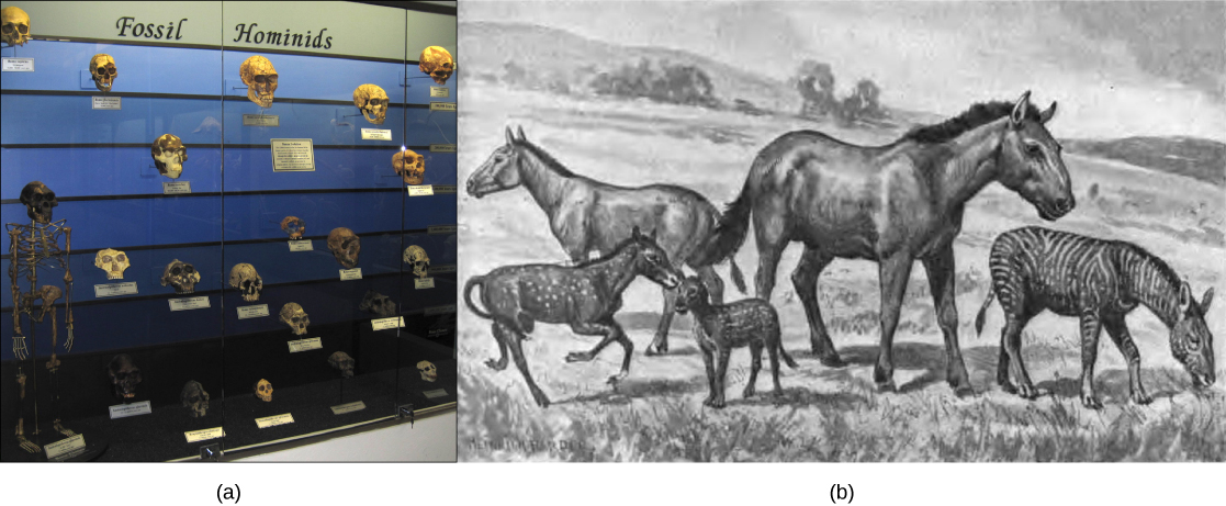 Photo A shows a museum display of hominid skulls that vary in size and shape. Illustration B shows five extinct species related and similar in appearance to the modern horse. The species vary in size from that of a modern horse to that of a medium-sized dog.