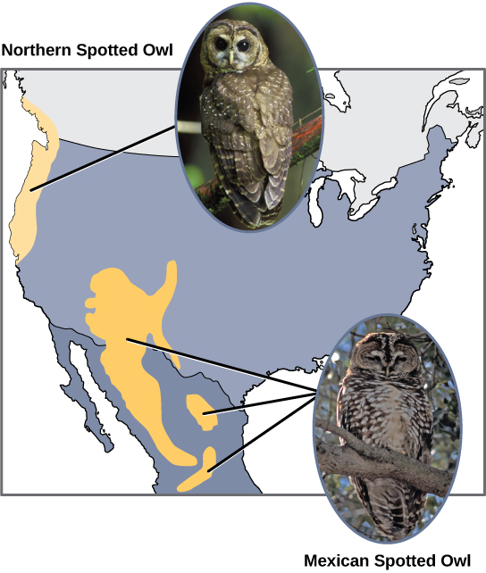 The northern spotted owl lives in the Pacific Northwest, and the Mexican spotted owl lives in Mexico and the southwestern portion of the United States. The two owls are similar in appearance but with slightly different coloration.