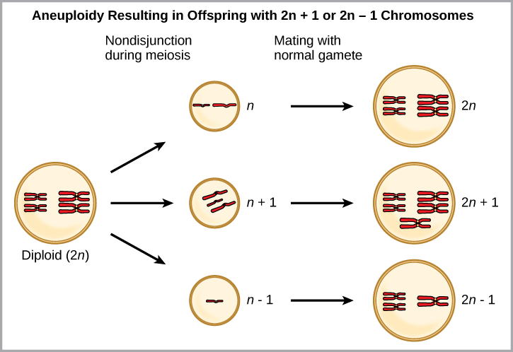 Aneuploidy results when chromosomes fail to separate correctly during meiosis. As a result, one gamete has one too many chromosomes (n +1), and the other has one too few (n – 1). When the n + 1 gamete fuses with a normal gamete, the resulting zygote has 2n + 1 chromosomes. When the n – 1 gamete fuses with a normal gamete, the resulting zygote has 2n -1 chromosomes.