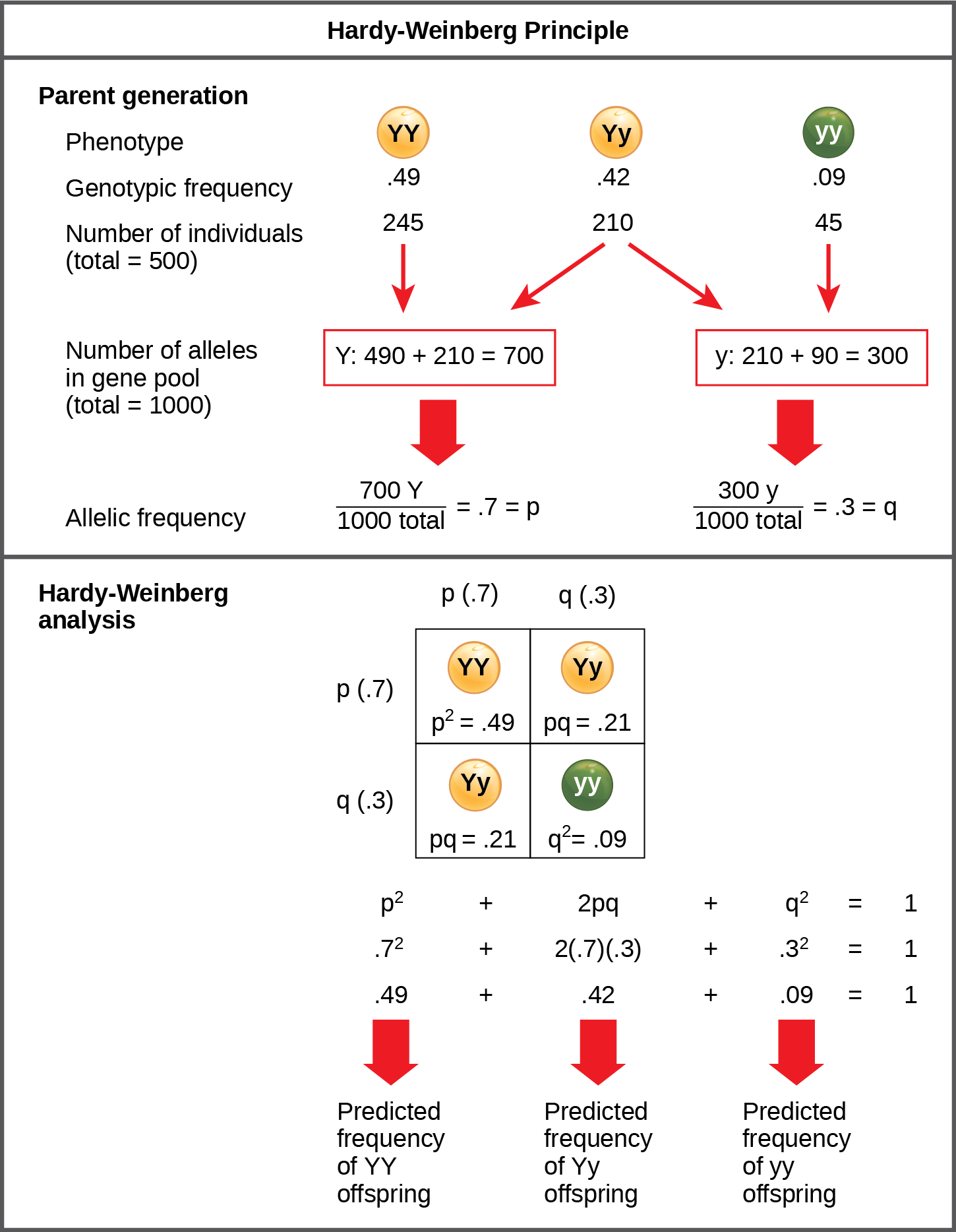 The Hardy-Weinberg principle is used to predict the genotypic distribution of offspring in a given population. In the example given, pea plants have two different alleles for pea color. The dominant capital Y allele results in yellow pea color, and the recessive small y allele results in green pea color. The distribution of individuals in a population of 500 is given. Of the 500 individuals, 245 are homozygous dominant (capital Y capital Y) and produce yellow peas. 210 are heterozygous (capital Y small y) and also produce yellow peas. 45 are homozygous recessive (small y small y) and produce green peas. The frequencies of homozygous dominant, heterozygous, and homozygous recessive individuals are 0.49, 0.42, and 0.09, respectively. Each of the 500 individuals provides two alleles to the gene pool, or 1000 total. The 245 homozygous dominant individuals provide two capital Y alleles to the gene pool, or 490 total. The 210 heterozygous individuals provide 210 capital Y and 210 small y alleles to the gene pool. The 45 homozygous recessive individuals provide two small y alleles to the gene pool, or 90 total. The number of capital Y alleles is 490 from homozygous dominant individuals plus 210 from homozygous recessive individuals, or 700 total. The number of small y alleles is 210 from heterozygous individuals plus 90 from homozygous recessive individuals, or 300 total. The allelic frequency is calculated by dividing the number of each allele by the total number of alleles in the gene pool. For the capital Y allele, the allelic frequency is 700 divided by 1000, or 0.7; this allelic frequency is called p. For the small y allele the allelic frequency is 300 divided by 1000, or 0.3; the allelic frequency is called q. Hardy-Weinberg analysis is used to determine the genotypic frequency in the offspring. The Hardy-Wienberg equation is p-squared plus 2pq plus q-squared equals 1. For the population given, the frequency is 0.7-squared plus 2 times .7 times .3 plus .3-squared equals one. The value for p-squared, 0.49, is the predicted frequency of homozygous dominant (capital Y capital Y) individuals. The value for 2pq, 0.42, is the predicted frequency of heterozygous (capital Y small y) individuals. The value for q-squared, .09, is the predicted frequency of homozygous recessive individuals. Note that the predicted frequency of genotypes in the offspring is the same as the frequency of genotypes in the parent population. If all the genotypic frequencies, .49 plus .42 plus .09, are added together, the result is one