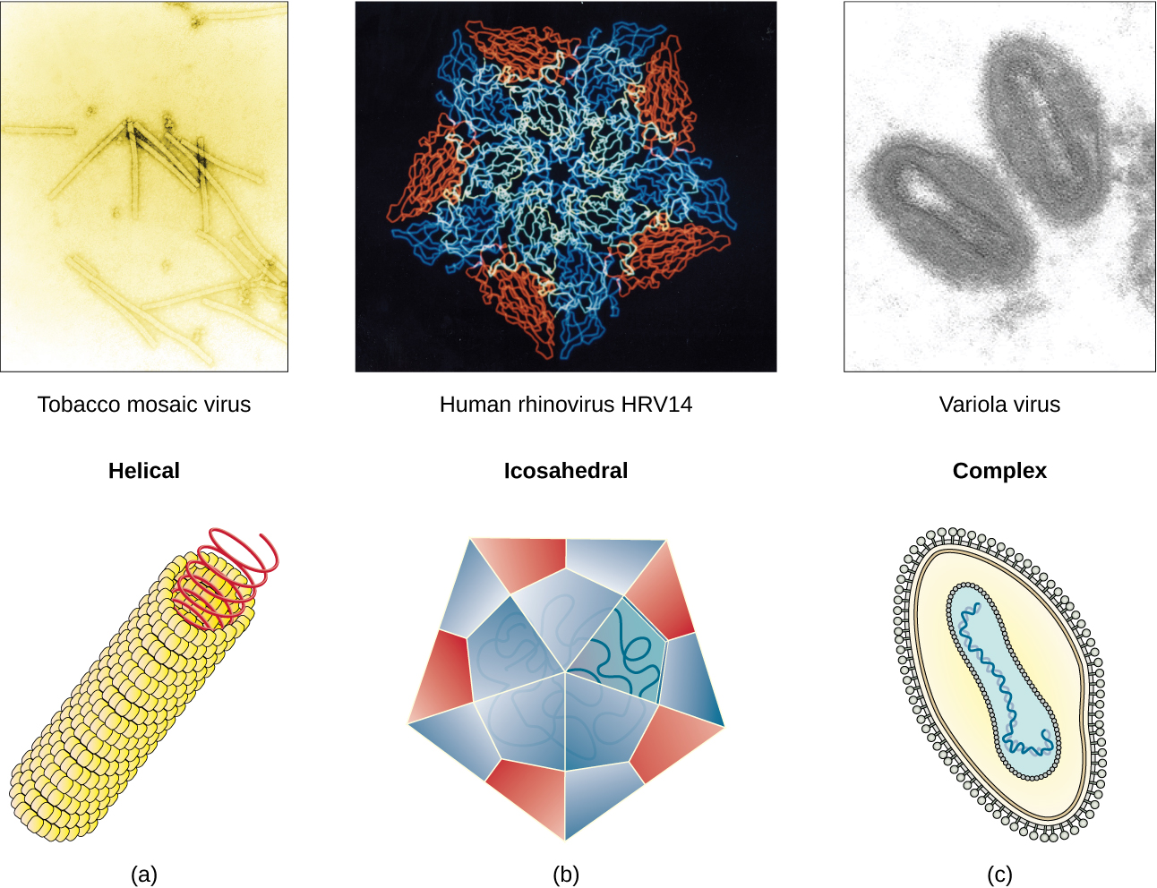 Figure a is a helical virus which has a long linear structure. The outer proteins are small spheres arranged into a long, hollow tube. Inside the tube is the genetic material. Tobacco mosaic virus is an example of a helical virus. Figure b is an Icosehedral viruses have a polyhedron structure. The example shown is human rhinovirus which has a pentagon structure. Complex viruses have a more complex structure. The example is variola which has an ovoid structure.