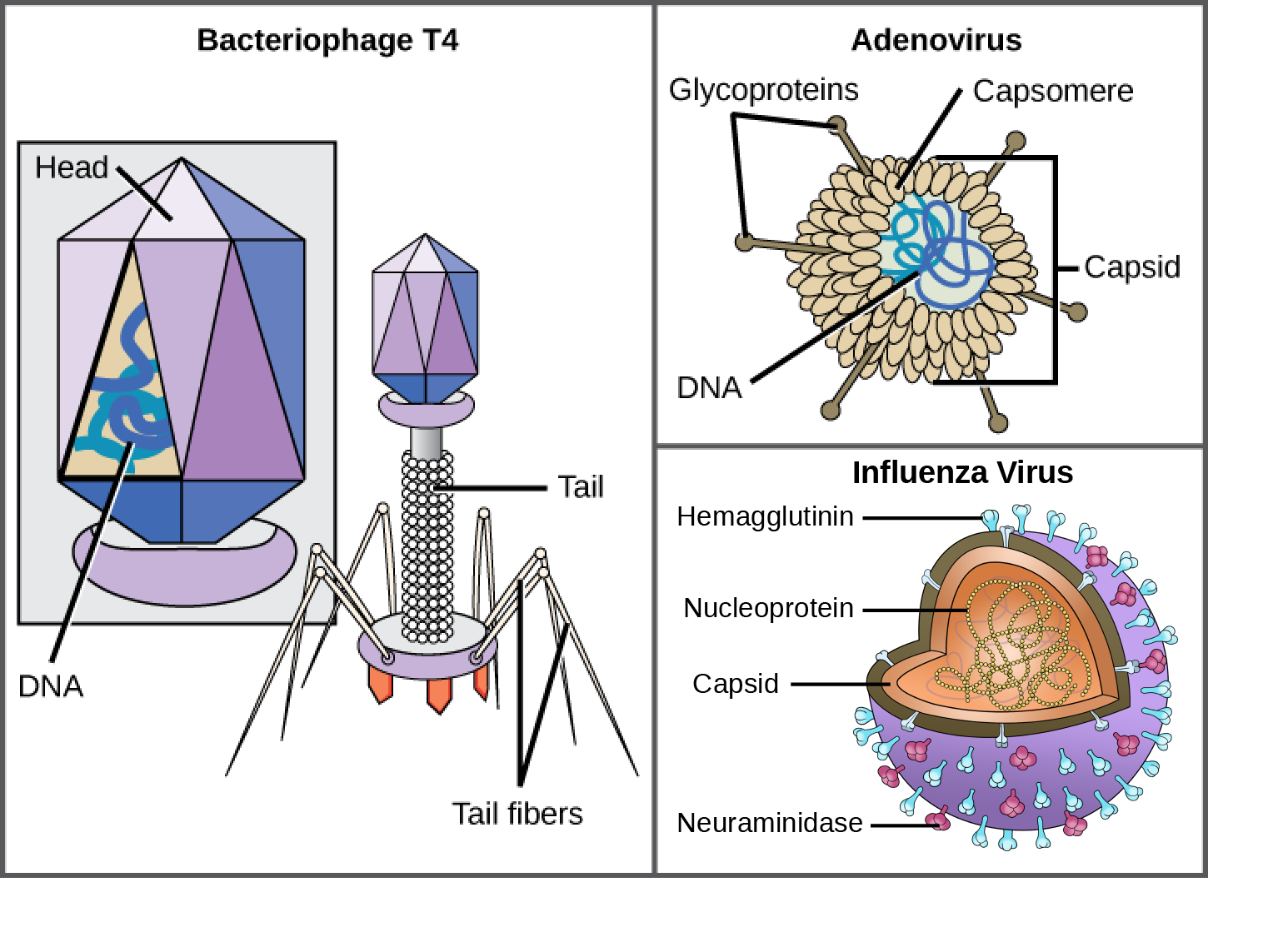 Illustration a shows bacteriophage T4, which houses its DNA genome in a hexagonal head. A long, straight tail extends from the bottom of the head. Tail fibers attached to the base of the tail are bent, like spider legs. In b, adenovirus houses its DNA genome in a round capsid made from many small capsomere subunits. Glycoproteins extend from the capsomere, like pins from a pincushion. In c, the HIV retrovirus houses its RNA genome and a bullet-shaped capsid. A spherical viral envelope, lined with matrix proteins, surrounds the capsid. Two different varieties of glycoprotein spike are embedded in the envelope. Approximately 80 percent of the spikes are hemagglutinin. The remaining 20 percent or so of the glycoprotein spikes consist of neuraminidase.