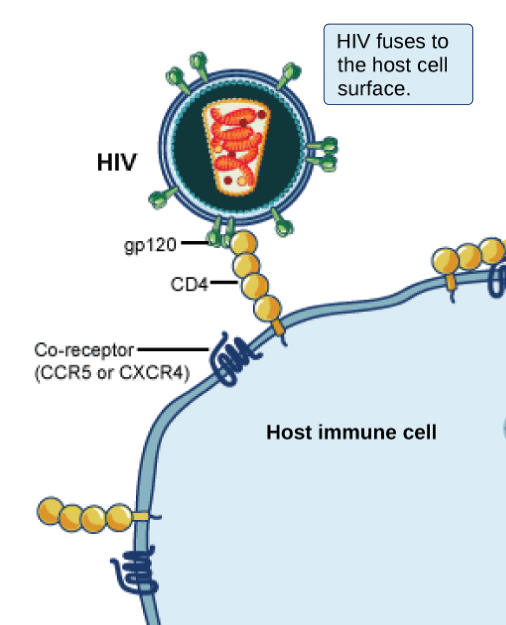 In the illustration a viral receptor on the surface of an HIV virus is attaches to a co-receptor embedded in the plasma membrane. The co-receptor is either CCR5 or CXCR4.
