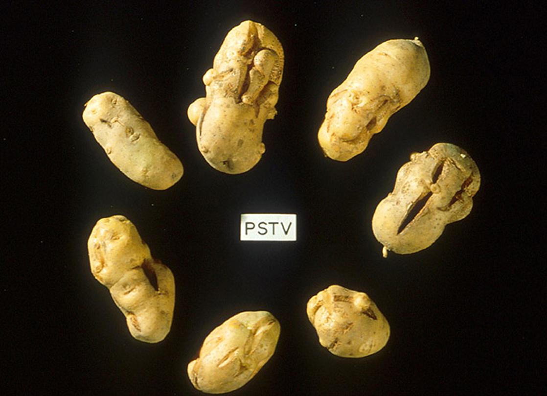 The photo shows shriveled, cracked potatoes.