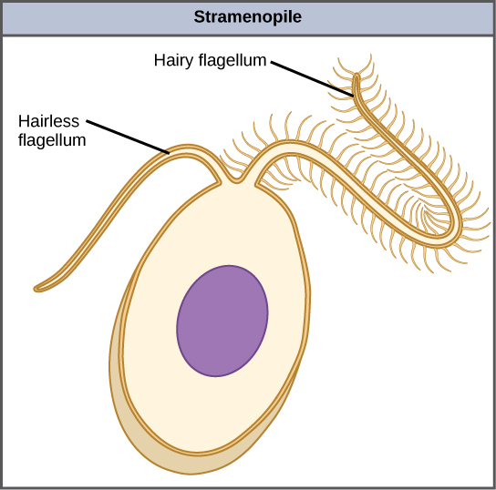 The illustration shows an egg-shaped stramenopile cell. Protruding from the narrow end of the cell is one hairless flagellum and one hairy flagellum.