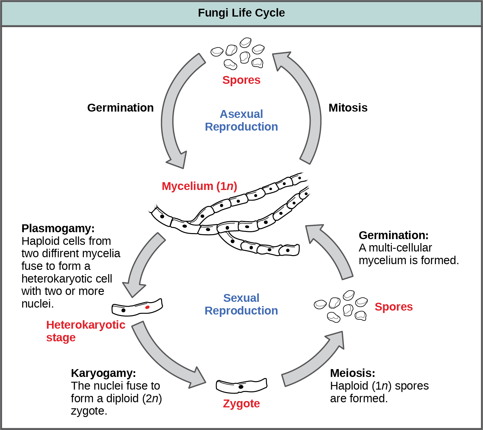 The asexual and sexual stages of reproduction of fungi are shown. In the asexual life cycle, a haploid (1n) mycelium undergoes mitosis to form spores. Germination of the spores results in the formation of more mycelia. In the sexual life cycle, the mycelium undergoes plasmogamy, a process in which haploid cells fuse to form a heterokaryon (a cell with two or more haploid nuclei). This is called the heterokaryotic stage. The dikaryotic cells (cells with two more more nuclei) undergo karyogamy, a process in which the nuclei fuse to form a diploid (2n) zygote. The zygote undergoes meiosis to form haploid (1n) spores. Germination of the spores results in the formation of a multicellular mycelium.