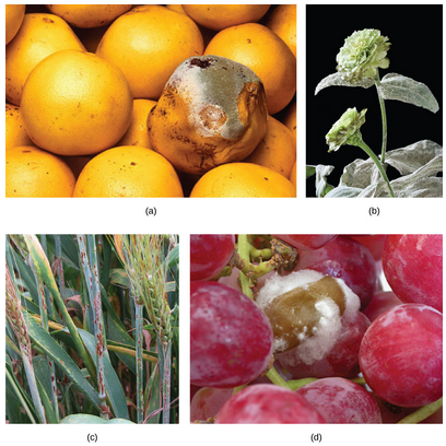 Image displays various plants and fruits infected with fungal pathogens. (a) green mold on grapefruit, (b) powdery mildew covering zinnia flower and leaves, (c) red-colored rust on barley, (d) grey rot on grapes, which appears as a fibrous, almost cotton-like substance.
