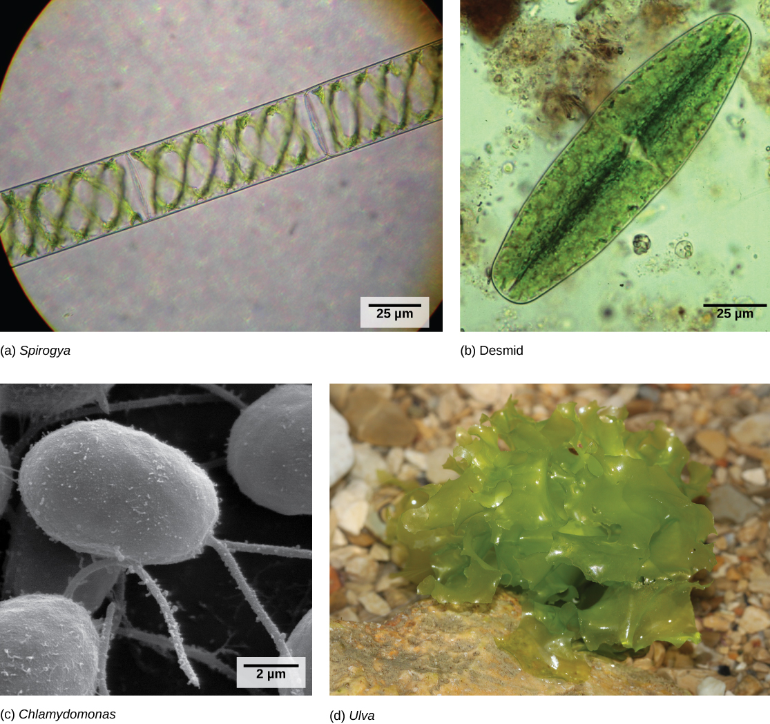 Light micrograph A shows rectangular Spirogyra cells linked in a chain. Light micrograph B shows a oval green desmid cell. Electron micrograph C shows egg-shaped Chlamydomonas cells attached to thin stalks. Photo D shows a colony of Ulva that resembles leaf lettuce.