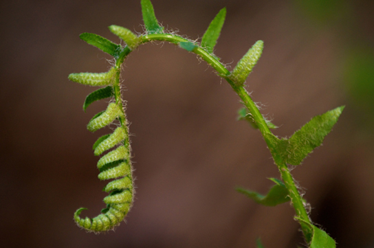 Fiddleheads at the top of a maturing fern curl into a structure that resembles their namesake.