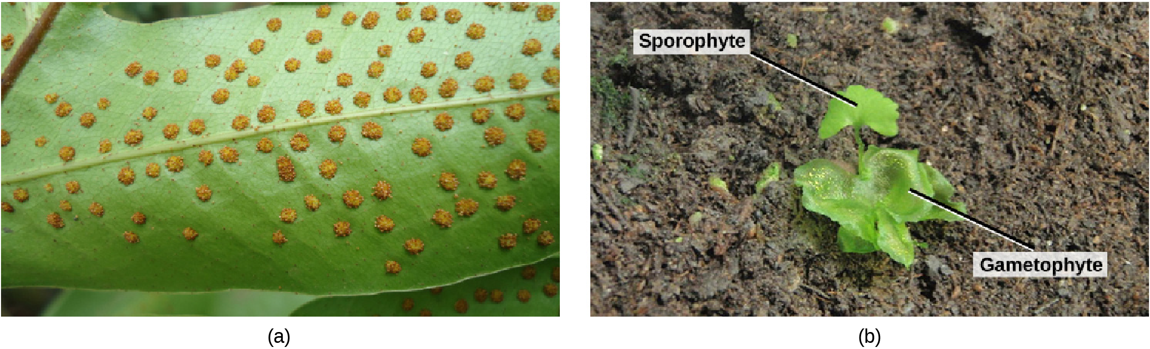 Photo A shows small bumps called sori on the underside of a fern frond. Photo B shows a young sporophyte with a fan-shaped leaf growing from a lettuce-like gametophyte.