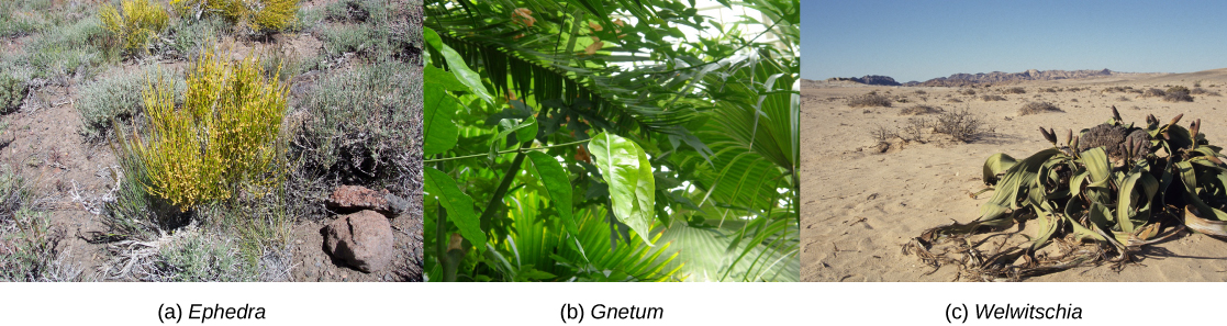 Photo A shows Mormon tea, a short, scrubby plant with yellow branches radiating out from a central bundle. Photo B shows a plant with large, teardrop-shaped green leaves. Photo C shows a plant with long, flat leaves radiating along the ground from a central part with pink buds.