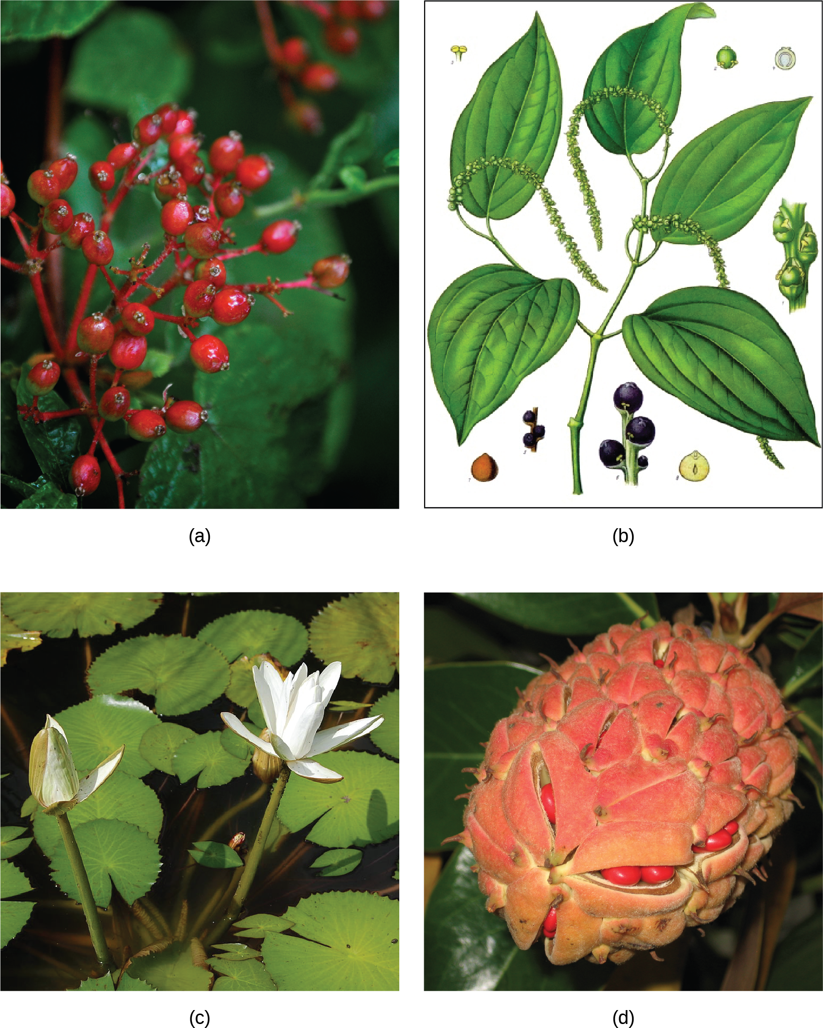 Photo A depicts a common spicebush plant with bright red berries growing at the tips of red stems. Illustration B shows a pepper plant with teardrop-shaped leaves and tiny flowers clustered on a long stem. Photo C shows lotus plants with broad, circular leaves and white flowers growing in water. Photo D shows red magnolia seeds clustered in an egg-shaped pink sac scattered with small, brown spikes.