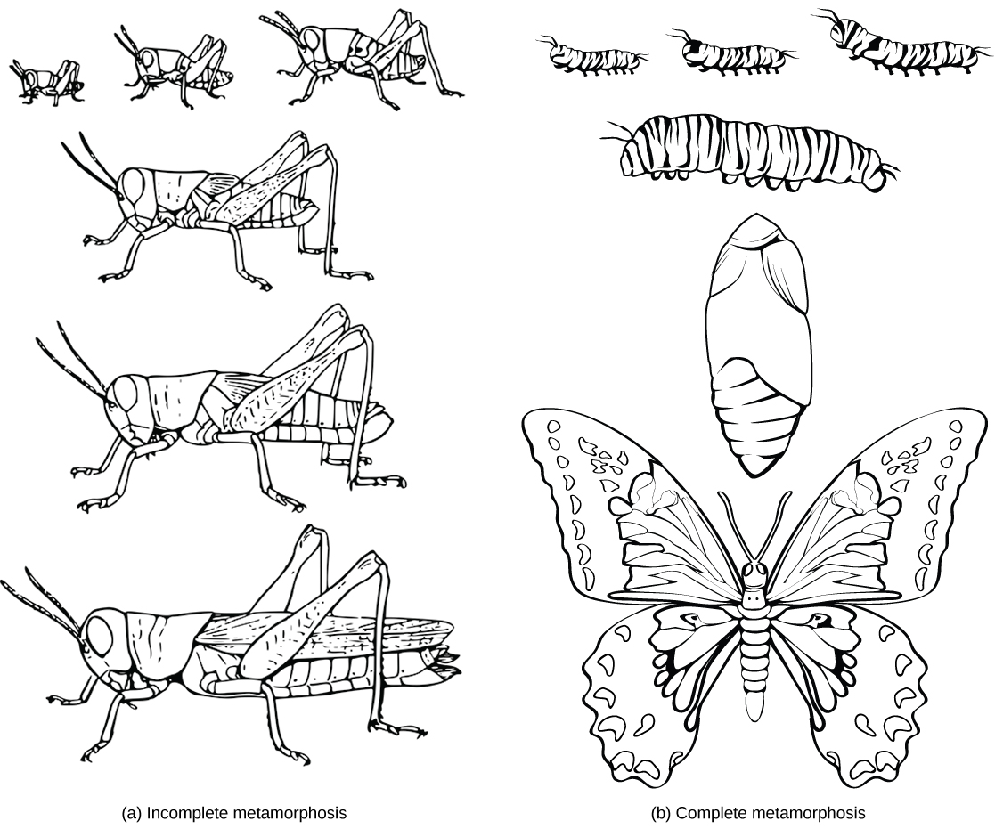 Illustration A shows the egg, nymph and adult stages of a grasshopper. The nymph stages are similar in appearance to the adult stage, but smaller. Illustration B shows the egg, larvae, pupa and adult stages of a butterfly. The pupa is a cocoon the butterfly makes when transforming from the larval to adult stages. The winged adult butterfly looks nothing like the caterpillar larva.