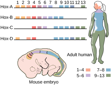 This illustration shows the four clusters of Hox genes found in vertebrates: Hox-A, Hox-B, Hox-C, and Hox-D. There are 13 Hox genes, but not all of them are found in each cluster. In both mice and humans, genes 1–4 regulate the development of the head. Genes 5 and 6 regulate the development of the neck. Genes 7 and 8 regulate the development of the torso, and genes 9–13 regulate the development of the arms and legs.