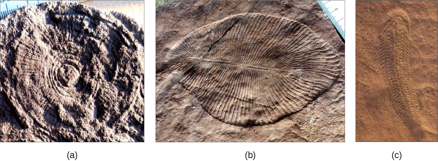 Part a shows a fossil that resembles a wheel, with spokes radiating out from the center, imprinted on a rock. Part b shows a fossil that resembles a teardrop shaped leaf, with grooves radiating out from a central rib. Part c shows a fossil that is much longer than it is wide, with many small ribs and a tail.
