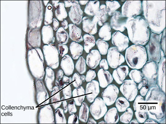 Micrograph shows collenchyma cells, which are irregularly shaped and 25 to 50 microns across. The collenchyma cells are adjacent to a layer of rectangular cells that form the epidermis.