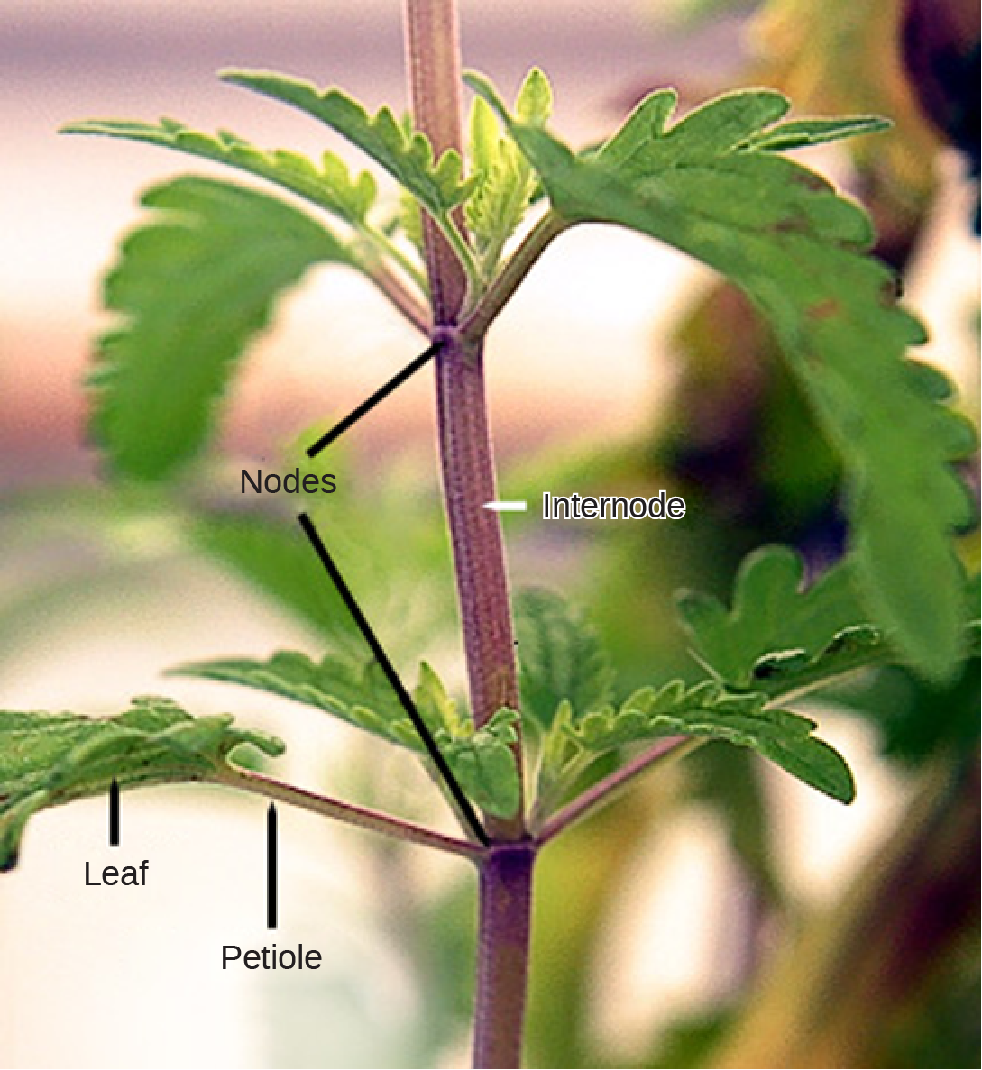 Photo shows a stem. Leaves are attached to petioles, which are small branches that radiate out from the stem. The petioles join the branch at junctions called nodes. The nodes are separated by a length of stem called the internode. Above the petioles, small leaves bud out from the node.