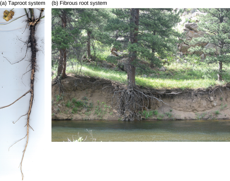 Top photo shows carrots, which are thick tap roots that have thin lateral roots extending from them. Bottom photo shows grasses with a fibrous root system beneath the soil.