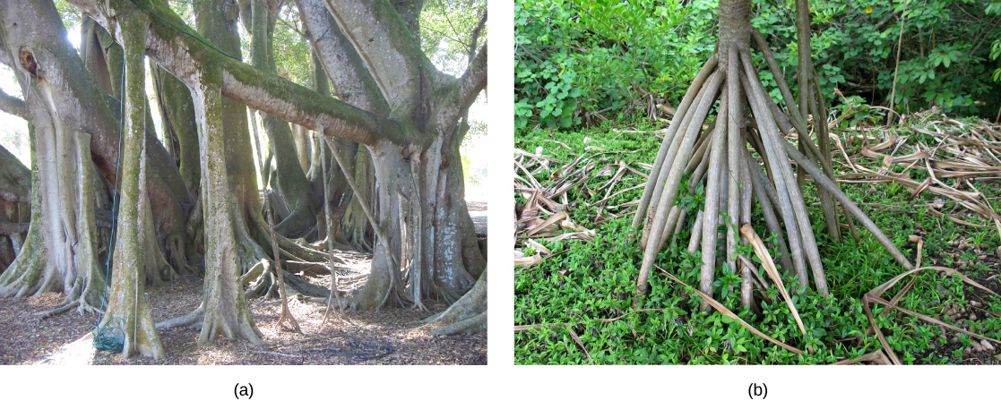 Photo (a) shows a large tree with smaller trunks growing down from its branches, and (b) a tree with slender aerial roots spiraling downwards from the trunk.