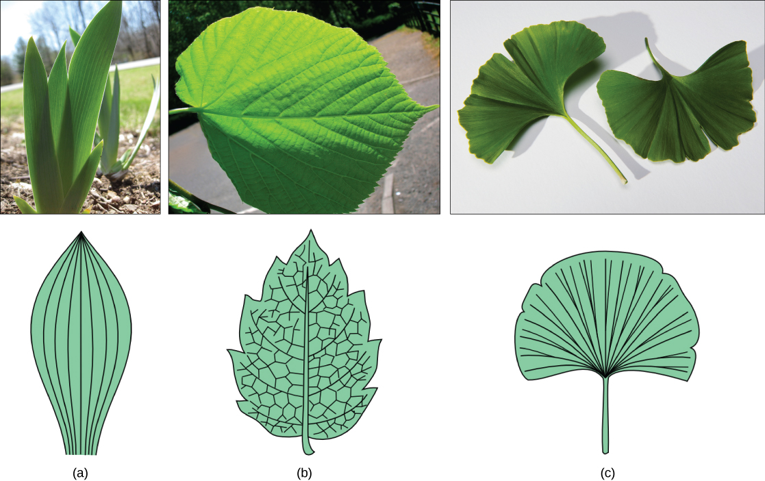 Part A photo shows the broad, sword-shaped leaves of a tulip. Parallel veins run up the leaves. Part B photo shows a teardrop-shaped linden leaf that has veins radiating out from the midrib. Smaller veins radiate out from these. Right photo shows a fan-shaped ginkgo leaf, which has veins radiating out from the petiole.