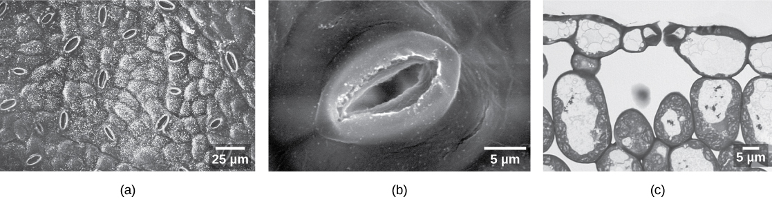 Photo (a) shows small oval-like stomata scattered on the bumpy surface of a leaf that is magnified 500 times; (b) is a close-up of a stoma showing the thick lip-like guard cells either side of an opening. Photo (a) and (b) are scanning electron micrographs. Photo (c) is a light micrograph of a leaf cross section that shows a large air space underneath two guard cells. The air space is surrounded by large oval and egg-shaped cells.