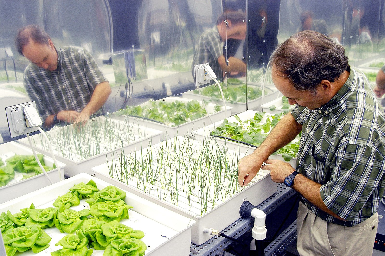 This photo shows a NASA researcher examining a hydroponic array, including several types of plants. The onions grow in a tray with long, thin openings from which emerge their grass-like leaves. Next to the onions are lettuces in a try appearing to have holes from which their larger leaves can emerge.