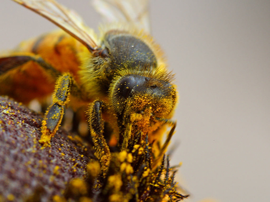 Photo depicts a bee covered in dusty yellow pollen.