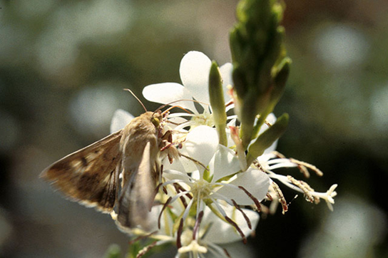 Photo depicts a gray moth drinking nectar from a white flower.