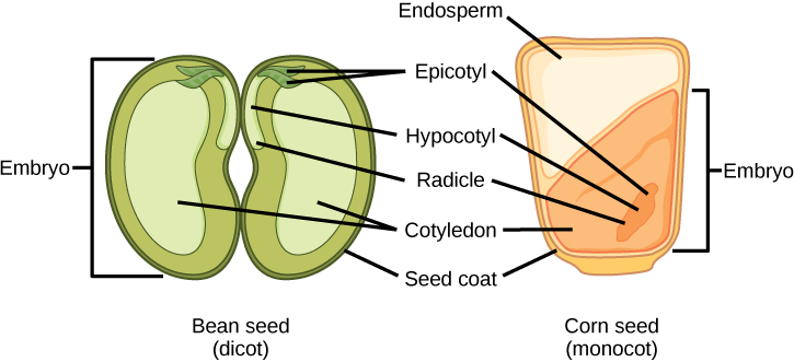 Illustration shows the structure of a monocot corn seed and a dicot bean seed. The lower half of the monocot seed contains the cotyledon, and the upper half contains the endosperm. The dicot seed does not contain an endosperm, but has two cotyledons, one on each side of the bean. Both the monocot and the dicot seed have an epicotyl that is attached to a hypocotyl. The hypocotyl terminates in a radicle. In the dicot, the epicotyl is in the upper middle part of the seed. In the monocot, the epicotyl is in the lower cotyledon. Both the monocot and dicot seed are surrounded by a seed coat.