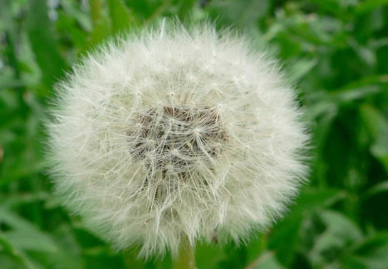 Part A shows a dandelion flower that has seeded.