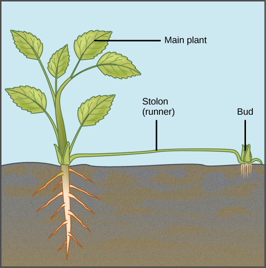 Illustration depicts a mature plant. A runner sprouts from the base of the plant and runs along the ground. A bud and adventitious root system form from the runner.