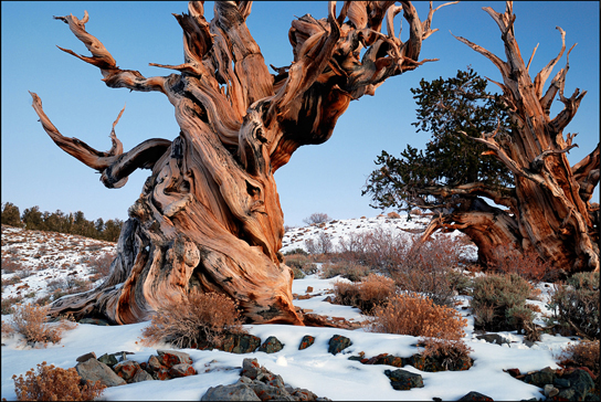 Photo shows the gnarled trunk of a bristlecone pine.
