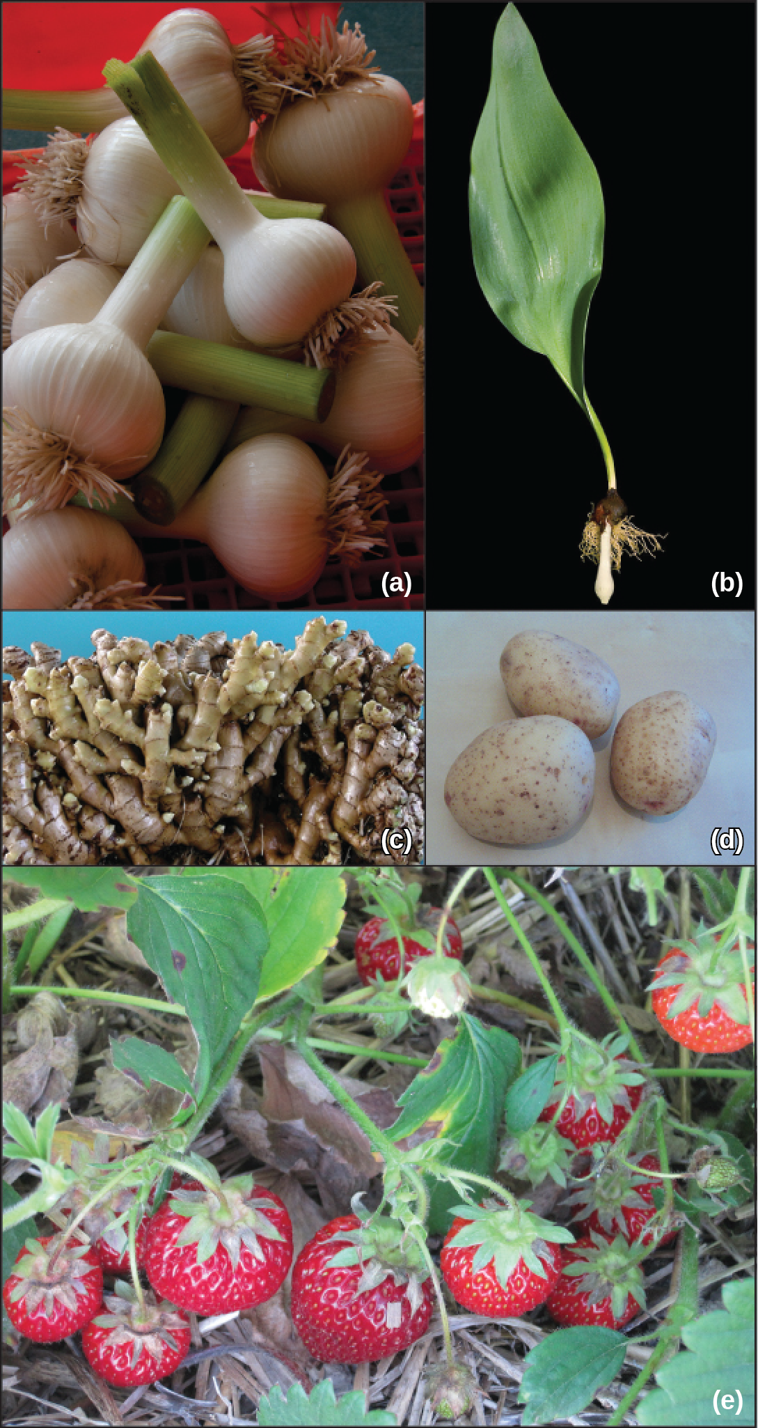 Shown are photos of various roots. Part A shows bulbous garlic roots. Part B shows a tulip bulb that has sprouted a leaf. Part C shows ginger root, which has many branches. Part D shows three potato tubers. Part E shows a strawberry plant.