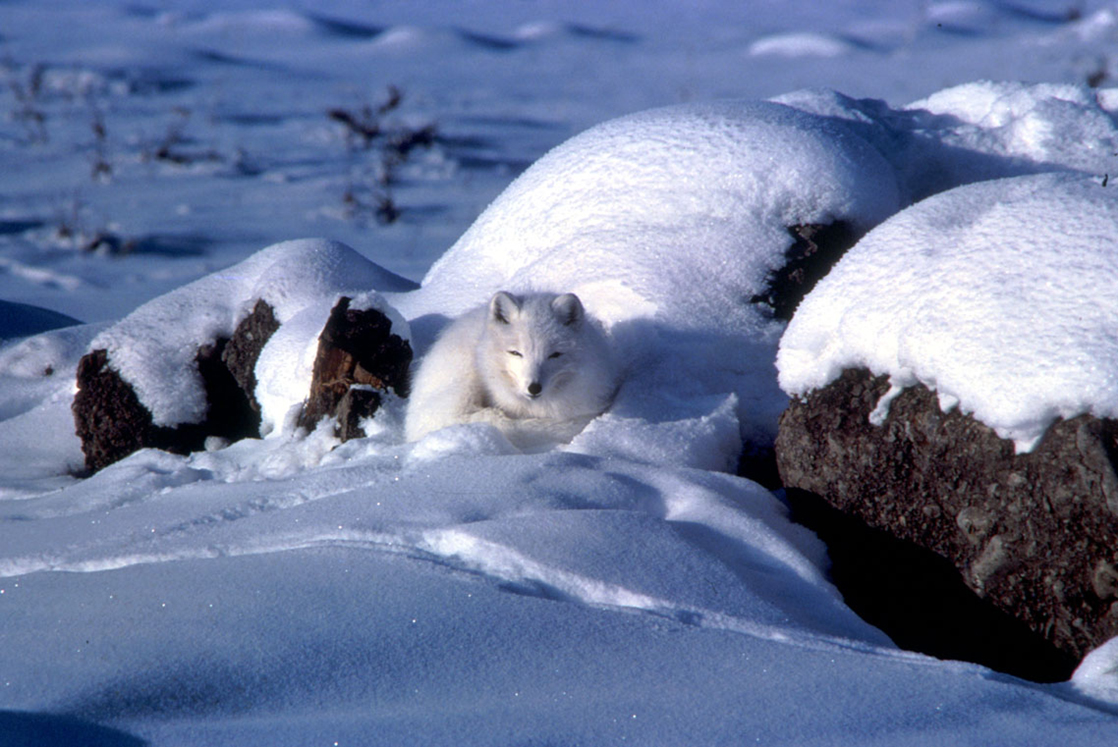 Photo shows a white arctic fox that blends in with the snow.