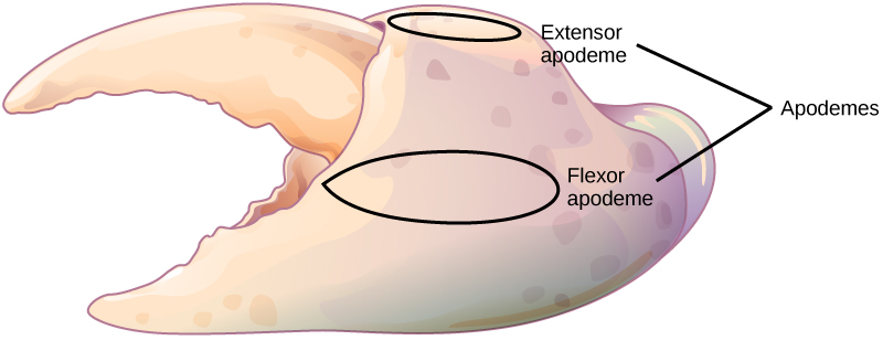 Illustration shows a crab claw with a small, upper portion that pivots relative to a large, lower portion. The apodemes are located on the large portion, above and below the pivot point.