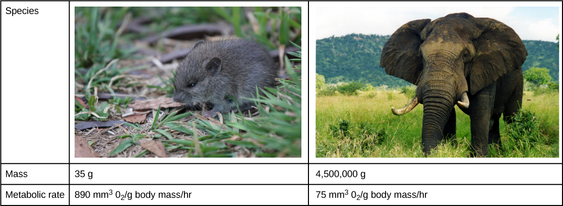 A mouse has an average mass of 35 grams and a metabolic rate of 890 millimeters cubed of oxygen per gram body mass per hour. The elephant has an average mass of 4,500 kg and a metabolic rate of 75 millimeters cubed of oxygen per gram body mass per hour.