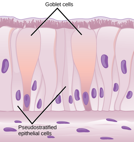 Illustration shows columnar cells arranged side-by-side. The cells are wide at the top, and thin at the bottom. Shorter columnar cells are interspersed between the lower, thin part of the tall columnar cells. Some of these cells extend to the surface of the epithelium, but they are very thin at the top. The nuclei of the tall columnar cells are located near the top, and the nuclei of the shorter columnar cells are located near the bottom, giving the appearance of two layers of cells. Cilia extend from the top of the tall columnar cells. Oval goblet cells are interspersed among the columnar epithelial cells. Beneath the columnar cells is a layer of horizontal cells.