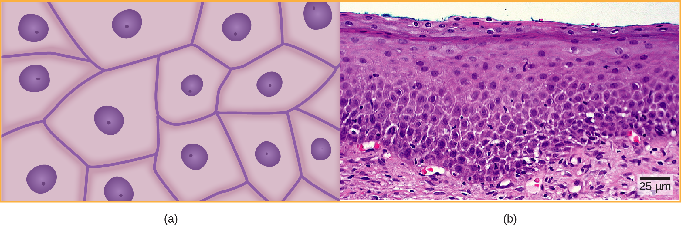 Illustration A shows irregularly shaped cells with a central nucleus. Micrograph B shows a cross section of squamous cells from the human cervix. In the upper layer the cells appear to be tightly packed. In they middle layer they appear to be more loosely packed, and in the lower layer they are flatter and elongated.