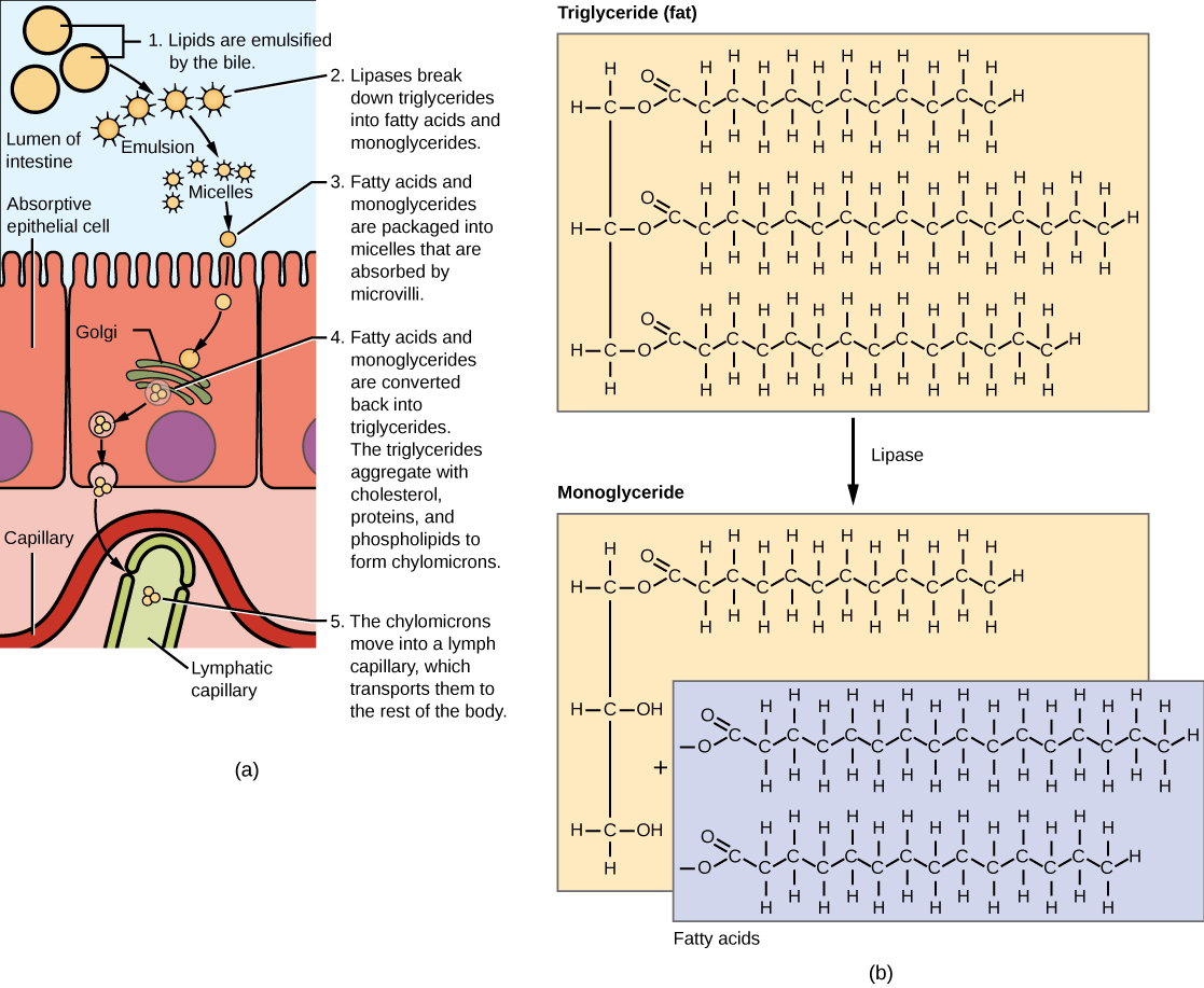 Illustration shows a row of absorptive epithelial cells that line the intestinal lumen. Hair-like microvilli project into the lumen. On the other side of the epithelial cells are capillaries and lymphatic vessels. In the intestinal lumen, lipids are emulsified by the bile. Lipases breakdown fats, also known as triglycerides, into fatty acids and monoglycerides. Fats are made up of three fatty acids attached to a 3-carbon glycerol backbone. In monoglycerides, two of the fatty acids are removed. The emulsified lipids form small, spherical particles called micelles that are absorbed by the epithelial cells. Inside the epithelial cells the fatty acids and monoglyerides are reassembled into triglycerides. The triglycerides aggregate with cholesterol, proteins, and phospholipids to form spherical chylomicrons. The chylomicrons are moved into a lymph capillary, which transports them to the rest of the body.