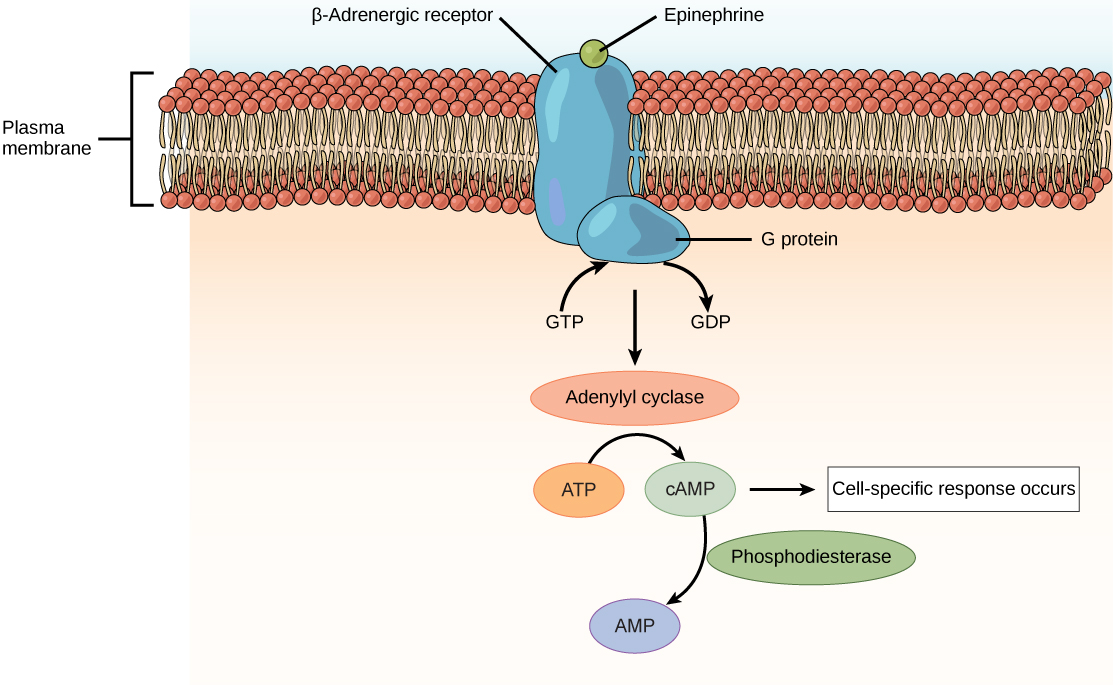 Illustration shows epinephrine bound to the extracellular surface of a beta-adrenergic receptor. A G-protein associated with the intracellular surface of the receptor is activated when the GDP associated with it is replaced with GTP. The G protein activates the enzyme adenylyl cyclase, which converts ATP to cAMP, triggering a cellular response.