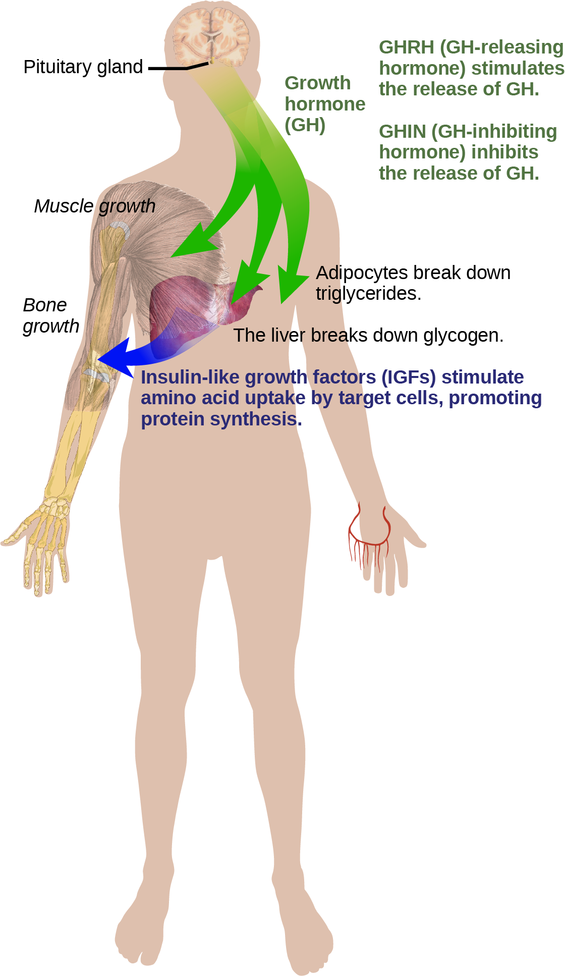 Growth hormone, or GH released from the pituitary gland stimulates bone and muscle growth. It also stimulates fat breakdown by adipocytes and glucagon breakdown by the liver. The liver releases IGFs, which cause target cells to take up amino acids, promoting protein synthesis. GH-releasing hormone stimulates the release of GH, and GH-inhibiting hormone, inhibits the release of GH.