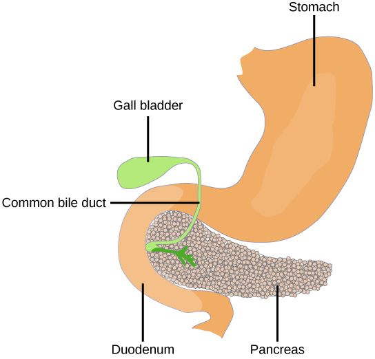The pancreas is a grainy, teardrop-shaped organ tucked between the stomach and intestine.