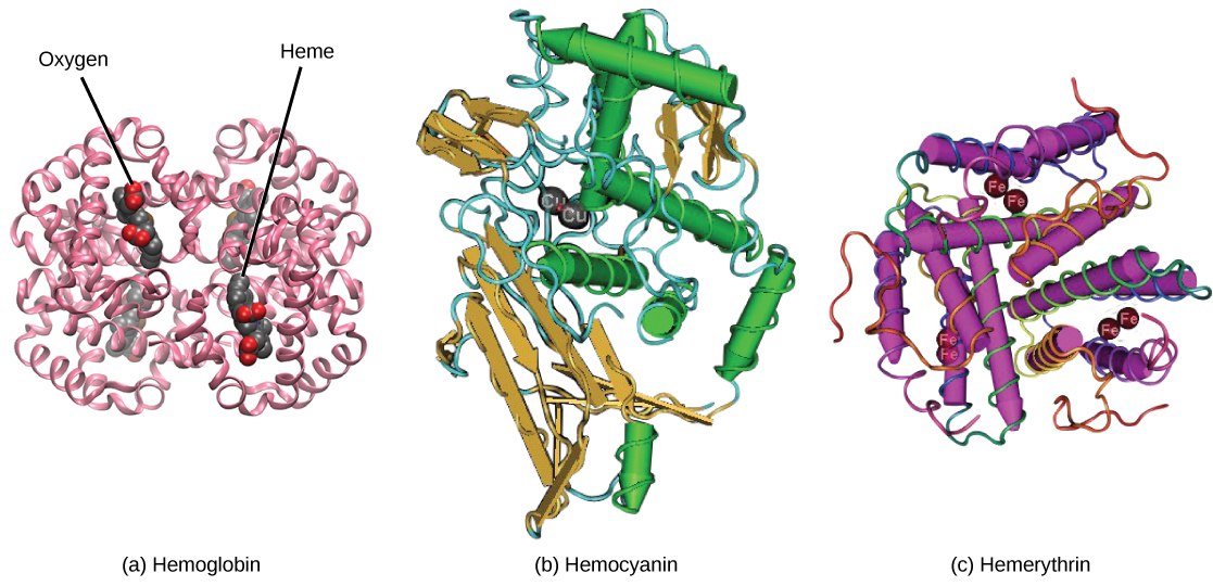 Molecular model A shows the structure of hemoglobin, which is made up of four protein subunits, each of which is coiled into helices. Left right, bottom and top parts of the molecule are symmetrical. Four small heme groups are associated with hemoglobin. Oxygen is bound to the heme. Molecular model B shows the structure of hemocyanin, a protein made up of coiled helices and ribbon-like sheets. Two copper ions are associated with the protein. Molecular model C shows the structure of hemerythrin, a protein made of coiled helices with four iron ions associated with it.