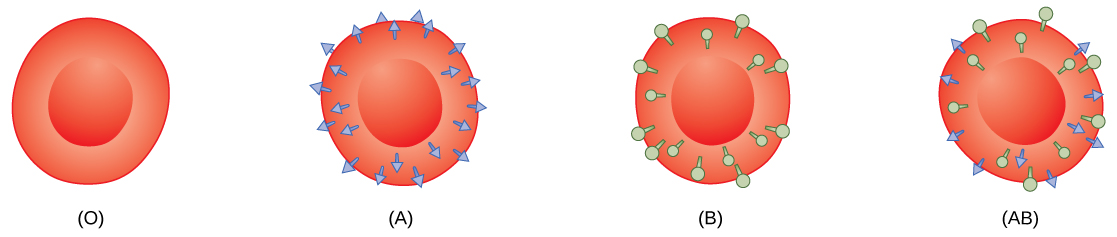 Type O, type A, type B and type AB red blood cells are shown. Type O cells do not have any antigens on their surface. Type A cells have A antigen on their surface. Type B cells have B antigen on their surface. Type AB cells have both antigens on their surface.