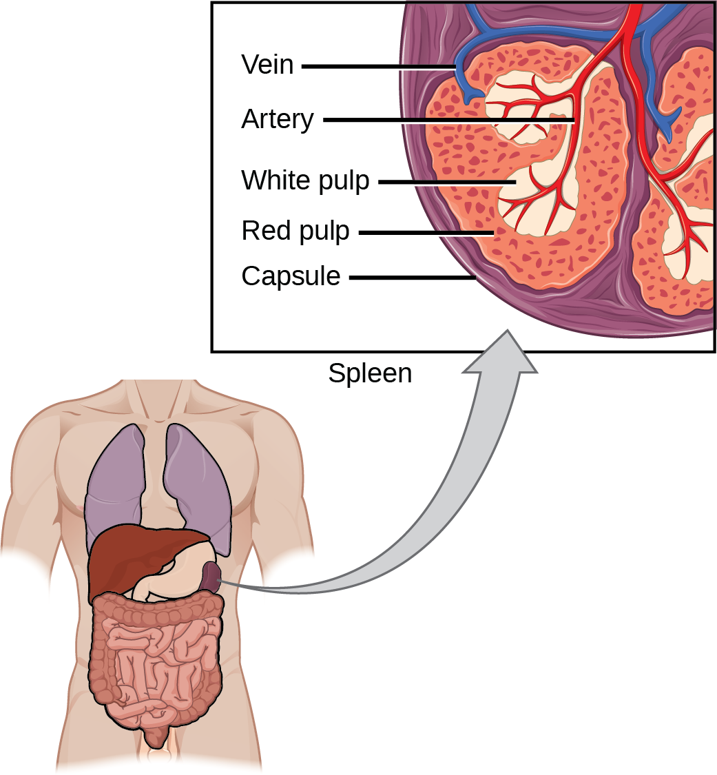 Illustration shows a cross section of a part of a spleen, which is located the upper left part of the abdomen. The spleen is divided into oval quadrants. At the center of these quadrants is white pulp, and at the periphery is red pulp. Arteries extend into the white pulp. Veins connect to the red pulp. The spleen is surrounded by a membrane called a capsule.