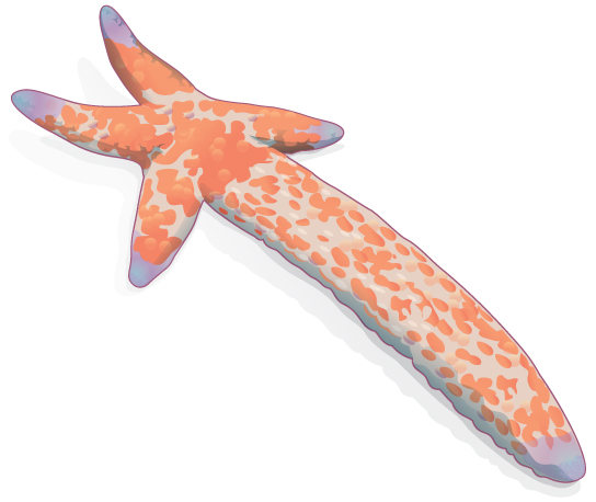 Illustration shows a sea star with one long arm and four very short arms.