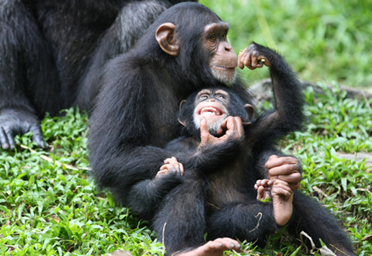 Photo (c) shows chimpanzees.