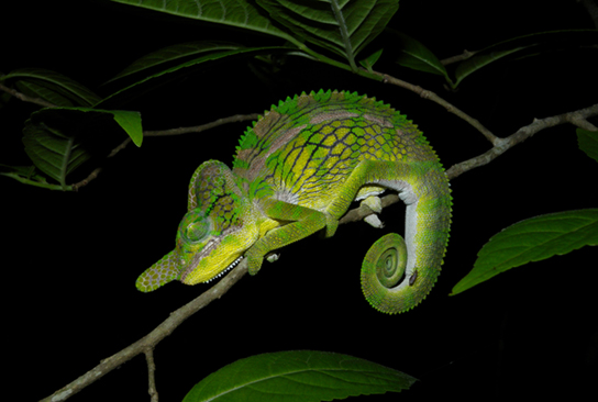 Photo (b) shows a green chameleon that resembles a leaf.