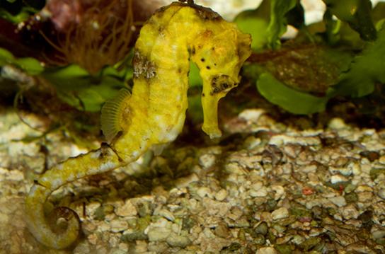 Photo (a) shows a yellow sea horse.