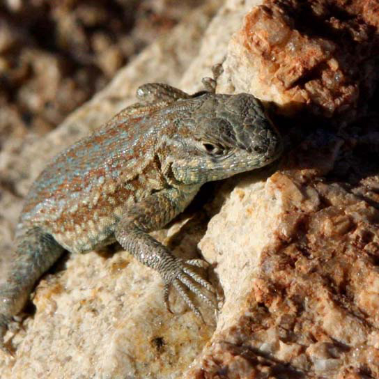Photo shows a mottled green and brown lizard sitting on a rock.